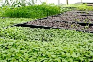 Cabbage Hill Farm Foundation micro greens2