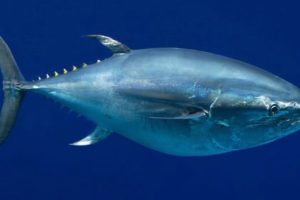 pacific-bluefin-tuna-1